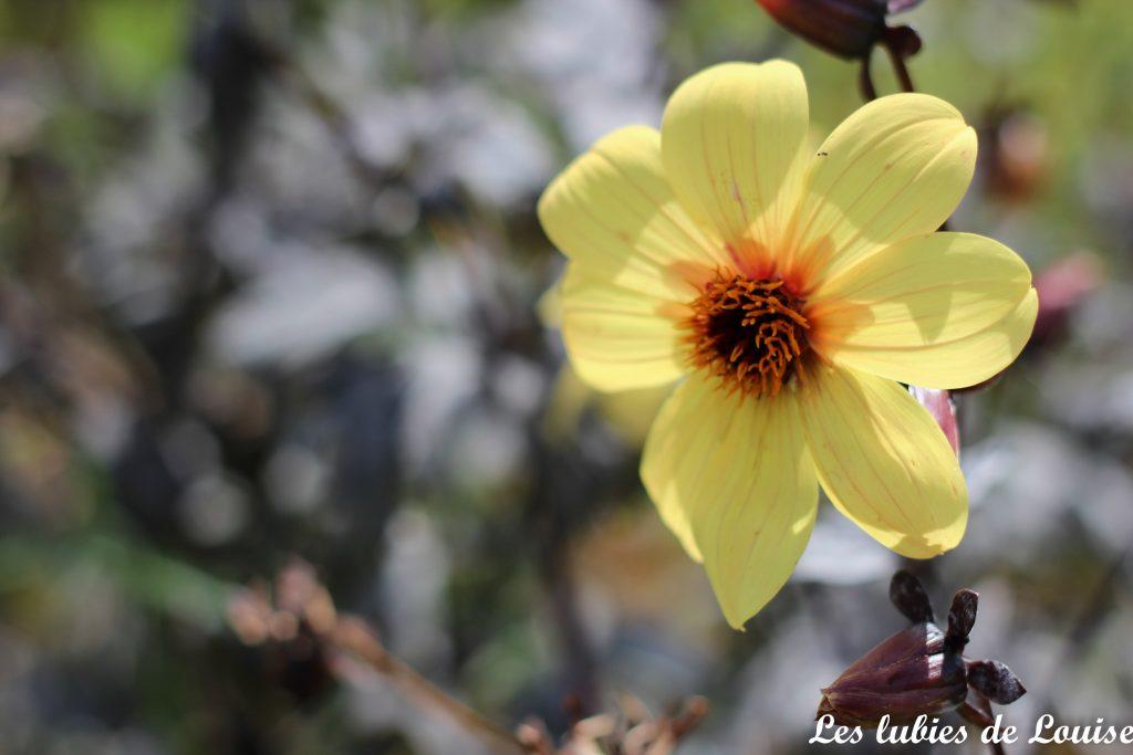 2016-08-25- Centaurée fleurie- les lubies de louise-35